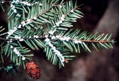 Hemlock woolly adelgid (HWA; Adelges tsugae), a scale-like insect introduced from Japan, has attacked and caused widespread mortality of eastern hemlock trees (Tsuga canadensis) in North America.  Milder winters  will allow more infestation of HWA in Vermont. HWA kills trees within 6 years.